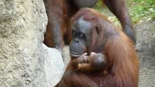Monkey Babies - Affenbabies Allwetterzoo Münster Germany