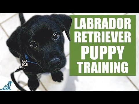 Labrador Retriever Puppy Training Guide - First Week Puppy ...
