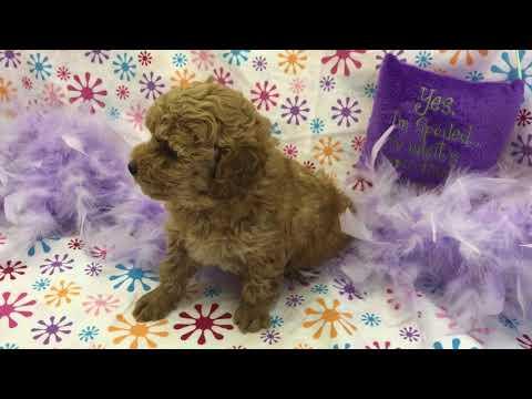 Jenny redwhite girl toy poodle