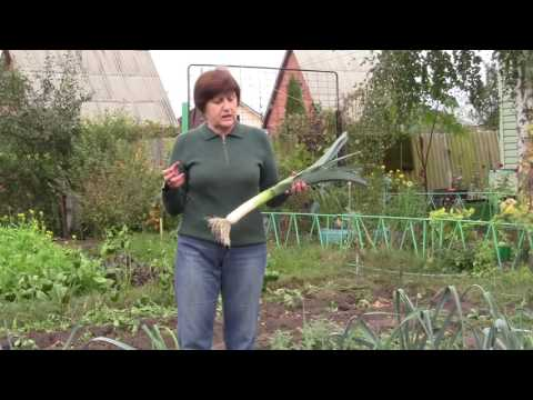 Выращивание, уборка и хранение лука-порея