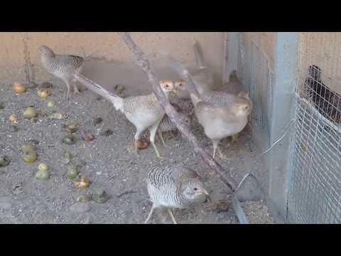 фазаны молодые не окрашенные в вольерах!