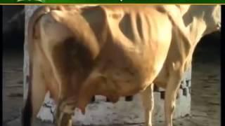 इस प्रकार दूर करें गाय और बैंस