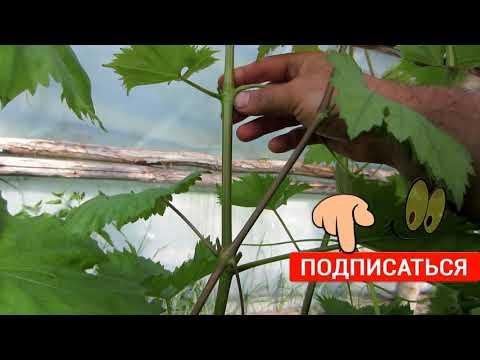 Виноград. Пасынкование винограда в теплице.Цветение столовых сортов винограда.