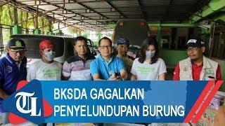 BKSDA Bengkulu-Lampung Gagalkan Penyelundupan 1.500 Ekor Burung