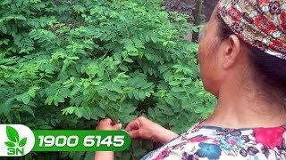 Trồng trọt   Rau ngót vàng lá, rụng lá: Cách khắc phục đơn giản