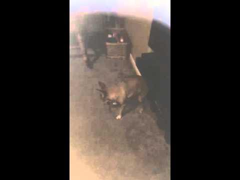 Video Neurological Symptoms in Dog