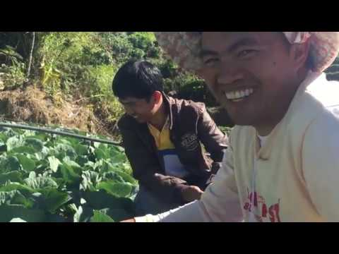 , title : 'Growing Cabbage in the highland. Cabbage management tips  Secret in Farming