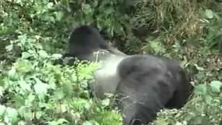preview picture of video 'Rwanda Gorilla Tracking.mp4'