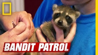Those Are Some Ticked-off Raccoons | Bandit Patrol