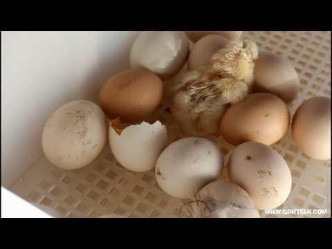 Küken mit Inkubator ausbrüten - Erster Versuch!