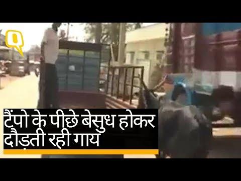 गाय और बछड़े का ये ममता भरा वीडियो आपकी आंखें नम कर देगा   Quint Hindi