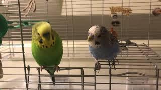 """Wife shenanigans + birds playing + Kiwi says """"Alexa, play NPR!"""""""