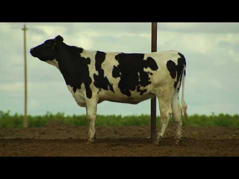Video See How Our Comfy Cows Live on Real California Dairy Farms