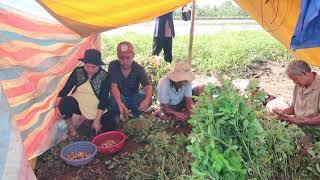 Đi Nhổ đậu Phộng | 7 Thuận #134