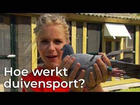 Video Hoe werkt duivensport? Doen ze dat zo?