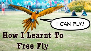 Parrot Free Flight Journey || Mikey The Macaw