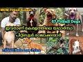 കേരളത്തിലെ ഏറ്റവും വലിയ Pitbull KennelMCM Kennel|APBT Kerala |Pitbull Dog|Dog dale in kerala