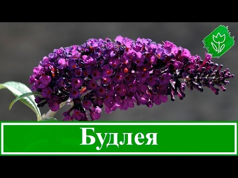 Цветы будлея – посадка и уход; выращивание будлеи из семян; размножение будлеи Давида