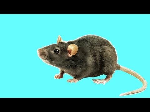 🐾 Игра для кошек, котов и котят! На экране шустрая мышка бегает для вашей кошки!