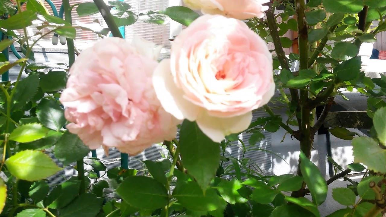 Плетистая роза Индиголетто и Пьер де Ронсар