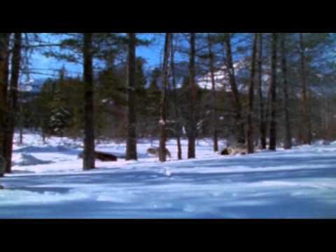 La fine della caccia ai lupi, oppure La caccia con l'elicottero
