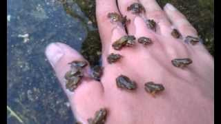 Baby frogs