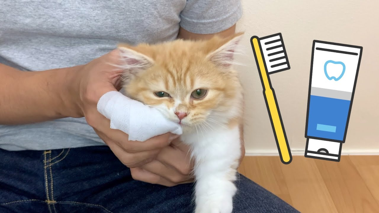 初めての歯磨きに子猫がふてくされてしまいました【マンチカン】