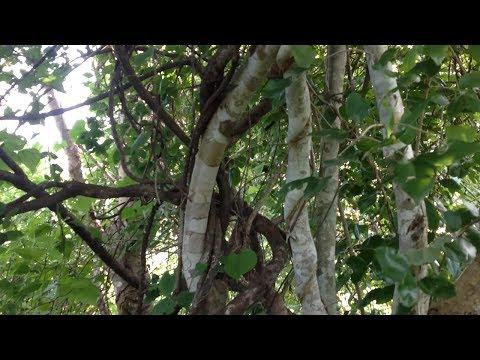 Video Kuliah Kayu Ular sebagai obat tradisional malaria oleh Maximus M.T