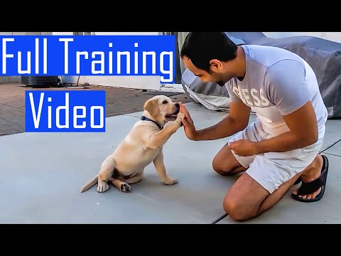 Labrador Puppy Learning and Performing Training Commands | Dog Showing All Training Skills