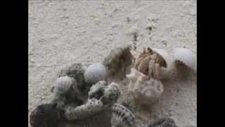 preview picture of video 'Hermit Crabs Upsize Homes, Kuramathi Island Maldives.'