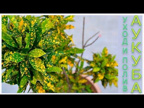 Аукуба, Золотое дерево ( Aucuba) уход и полив