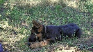 Curious puppy.Любопытный щенок немецкой овчарки Рита, 3 мес.Одесса.