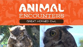 Animal Encounters: Great Horned Owl