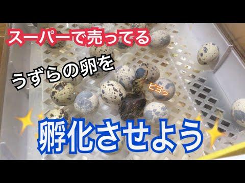 , title : '【1話完結】スーパーで買ったうずらの卵を孵化させよう!