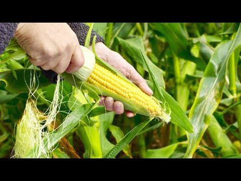 Easy Ways To Grow Sweet Corn At Home - Gardening Tips
