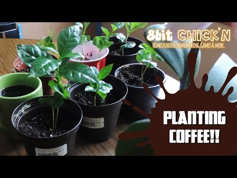 How to Grow Coffee at Home ☕