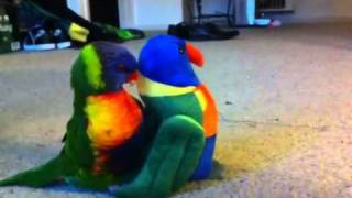 Marley the rainbow lorikeet and his new toy (love at first sight)