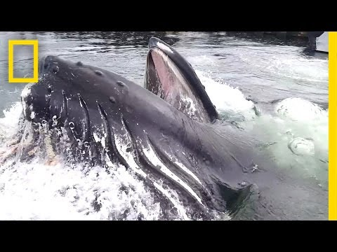 Watch A Humpback Whale Surface Right In Front Of You | National Geographic