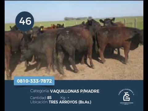 Lote Vaquillonas - Tres Arroyos