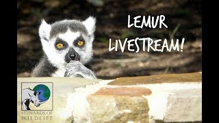 Lemur Cam at Stewards of Wildlife
