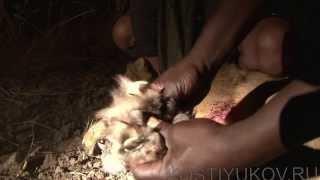 Камерун. Охота на льва.