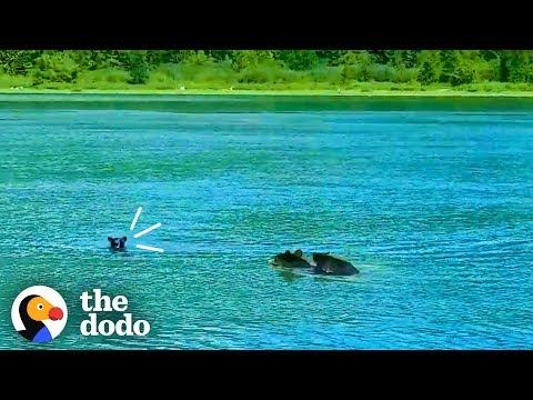 Mama Bear Helps Drowning Cubs Across Lake | The Dodo