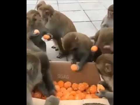 Почувствуй разницу! Халява у людей и у обезьян