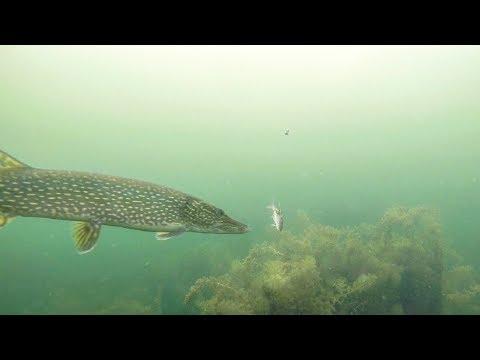 Undervandsoptagelse af isfiskeri efter gedde