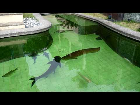 TLkmDN Transferring Green Arowana from TANK! (18/6/2010)