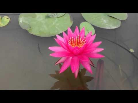 บัว สีชมพู่ perry pink file opal 2014