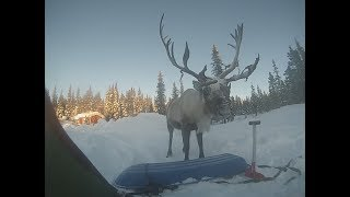 Encounter with a reindeer.