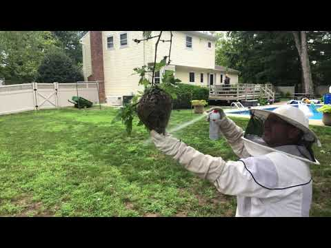 Exterminating a Bald-Faced Hornets Nest in Sea Girt, NJ