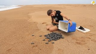 These People Are Saving Endangered Baby Turtles In Brazil