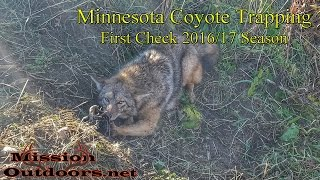 How to Trap Coyotes - Coyote Trapping Tips